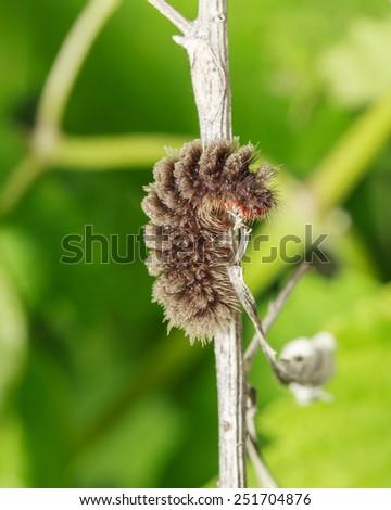 Big brown caterpillar on green - stock photo
