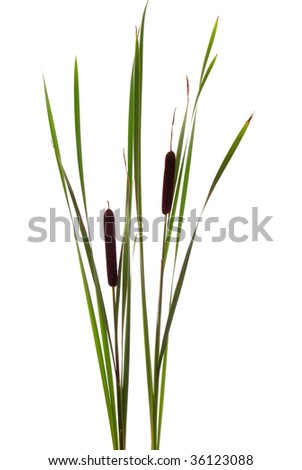 big brown cattails stands on white background