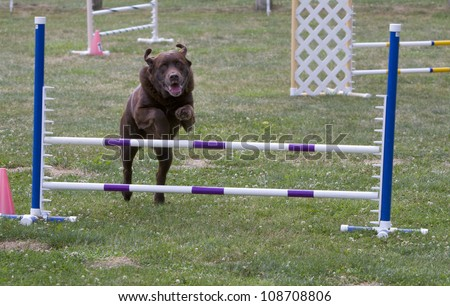Big Brown Dog at Agility Trial - stock photo