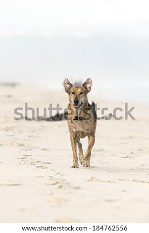 big brown dog running on the beach