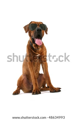 big brown dog tosa inu with sunglasses sitting isolated on white