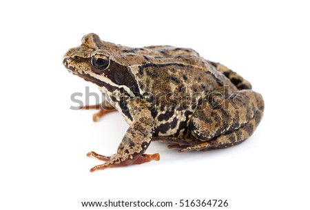 big brown frog on white background