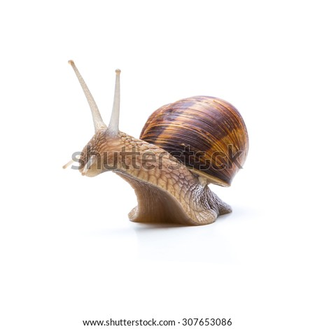 big brown garden snail - stock photo