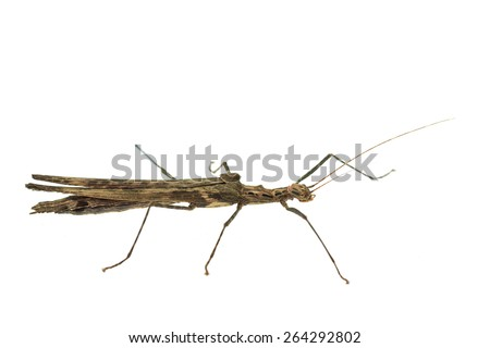 Big brown grasshopper isolated on white background - stock photo