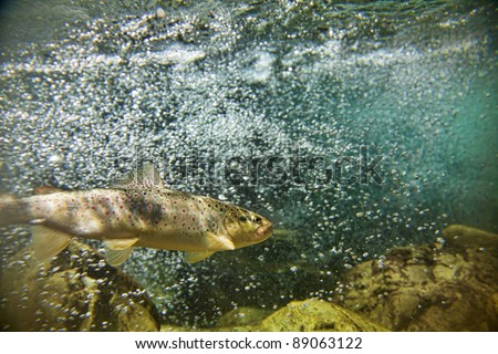 Big brown trout swimming in blue green   water in stream or lake - stock photo