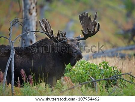 Big Bull Moose in lush habitat, Yellowstone National Park - stock photo