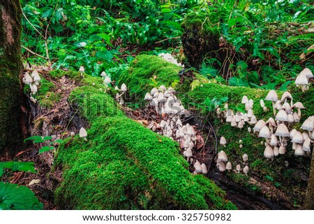 Big butch of mushrooms growing on the fallen tree covered with green moss. - stock photo