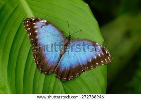 Big Butterfly Blue Morpho, Morpho peleides, sitting on green leaves, Costa Rica - stock photo