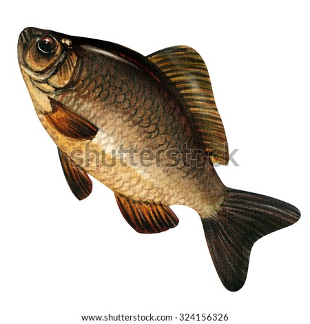 Big carp carassius isolated, watercolor painting on white background