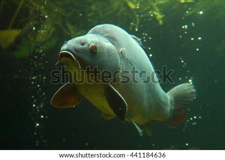 Big carp (Cyprinus carpio) underwater photo in lake. Diving in fresh water. - stock photo