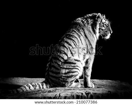 Big Cat Contemplation - stock photo