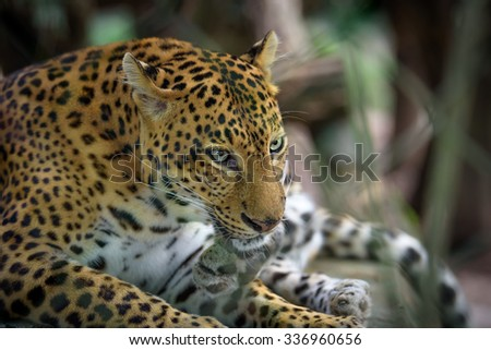 Big cat head shot. Closeup portrait of leopard or jaguar resting