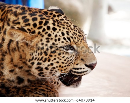 Big cat. Wild African Leopard - stock photo