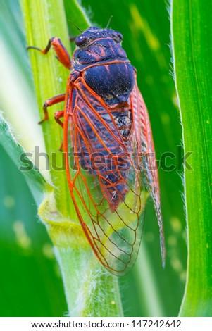 big cicada on a leaf - stock photo