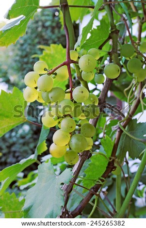 Big cluster of the ripe grapes - stock photo