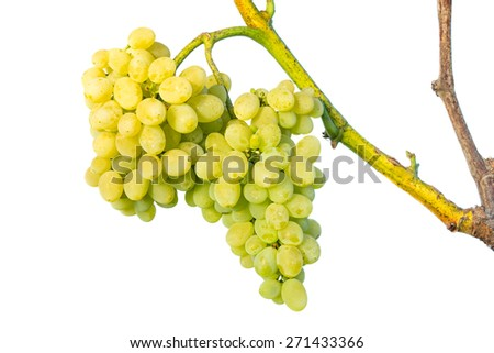 Big cluster of white grapes on vine isolated on white background. Growing fruits background - stock photo