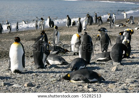 Big colony of king penguins in beach in South Georgia - stock photo