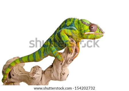 Big colorful chameleon on over white background. - stock photo