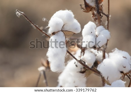 Big cotton buds bloom on a blurred background - stock photo