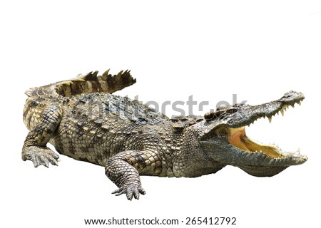 Big crocodile in thailand isolated on white background with clipping path. - stock photo