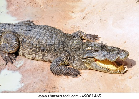 Big crocodile on sand beach - stock photo