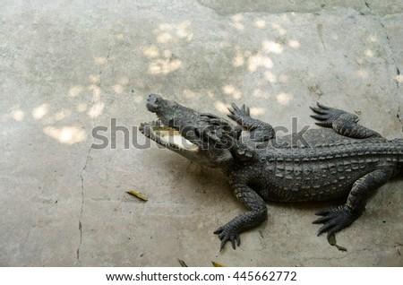 Big crocodiles resting in a crocodiles farm,Dangerous alligator in wildlife - stock photo
