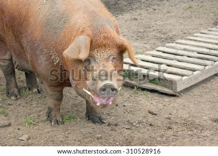 big dirty pig pork - stock photo