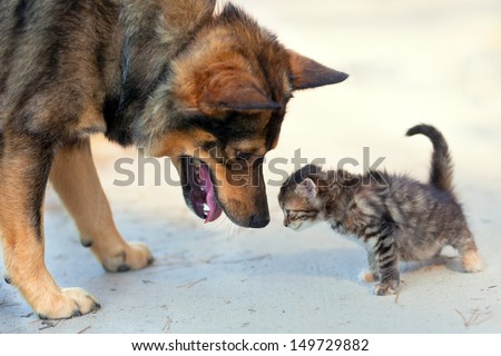 Big dog and little kitten sniffing each other outdoor - stock photo
