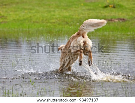 Big dog is jumping in the water - stock photo