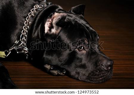 big dog italian cane corso. studio shot on dark background