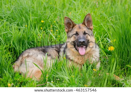 big dog lies in the poses. the tongue hanging out. German shepherd lying in the grass. age 1 year
