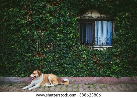 big dog lying near the wall with window covered with greenery - stock photo