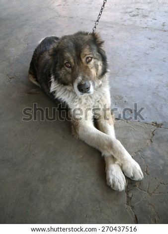 big dog on a chain lying is clasped paws - stock photo
