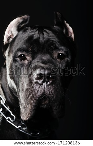 big dog on dark background