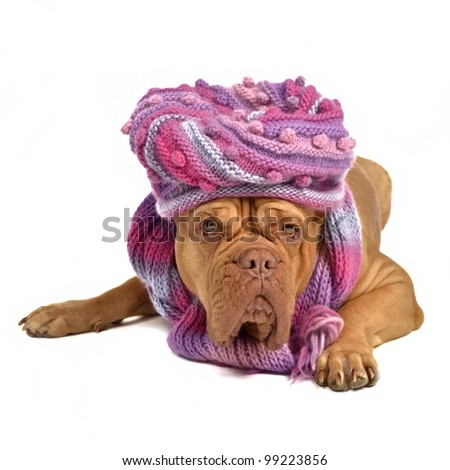 Big dog wearing hat and scarf isolated on white - stock photo