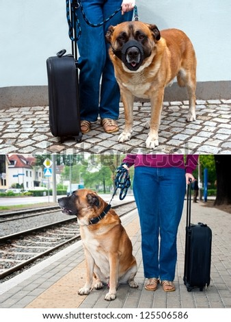 Big dog wearing muzzle at dog-lead standing near female legs and suitcase. Traveling with dog. - stock photo