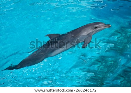 Big Dolphin Swimming in the Blue Water in the Bright Sunny Day