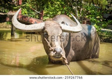 Big domestic water buffalo in water. Vietnam - stock photo