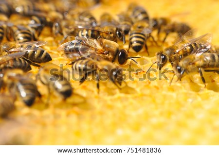 Big Drone Bee In Honeycomb Or Male With Worker