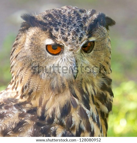 Big Eagle Owl sitting on the ground waiting for its prey