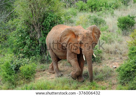 big Elephant in the savannah of Africa