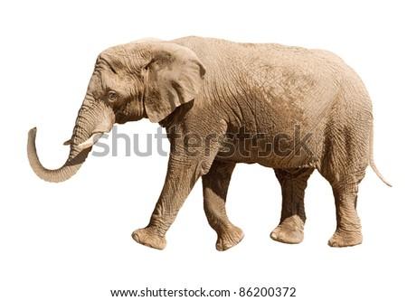 Big elephant isolated on white background - stock photo