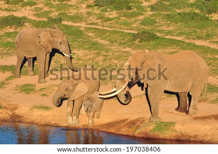Big Elephant with big tusks at watering hole