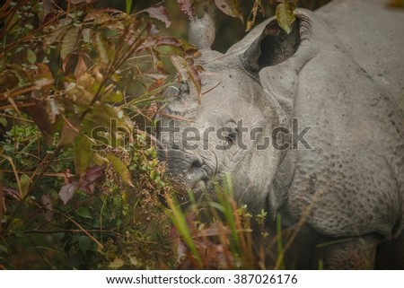 Big endangered indian rhinoceros in Kaziranga National Park/Big endangered indian rhinoceros in Kaziranga National Park/Big endangered indian rhinoceros in Kaziranga National Park - stock photo