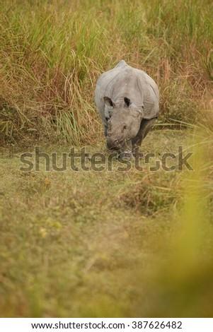 Big endangered indian rhinoceros in Kaziranga National Park / Big endangered indian rhinoceros in Kaziranga National Park / Big endangered indian rhinoceros in Kaziranga National Park - stock photo