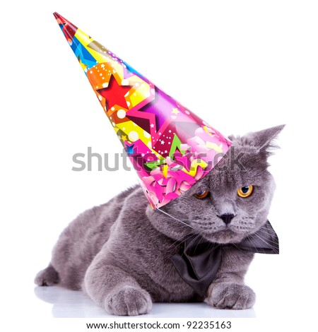 big english party cat wearing a party hat and bow tie on white background - stock photo