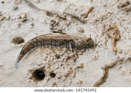 Big eye mudskipper / mud fish / blanny  - stock photo