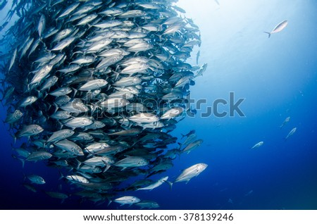 Big eye Trevally Jack, (Caranx sexfasciatus) Forming a polarized school or bait ball. Cabo Pulmo National Park, The world's aquarium. Baja California Sur,Mexico. - stock photo