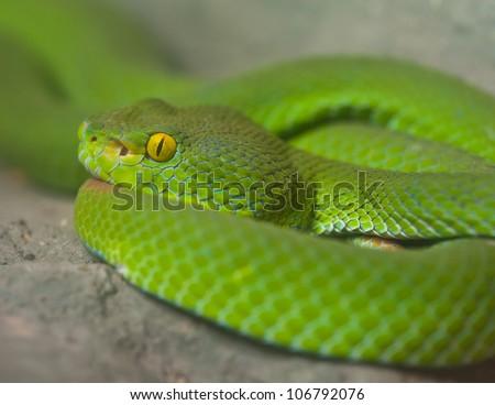 Big-eyed Pit Viper - stock photo