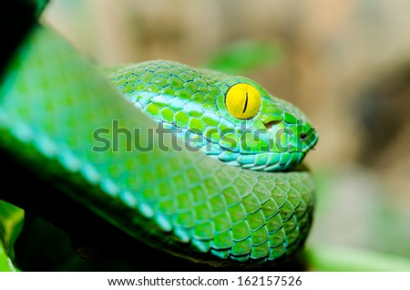 Big eyed Pitviper or Cryptelytrops macrops on tree branch. Thailand - stock photo